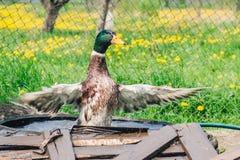 色的雄鸭飞过它的翼并且从水出来以一个绿色开花的草甸为背景 免版税库存照片