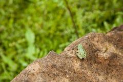 绿色的青蛙一点 库存照片
