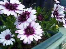 紫色的非洲雏菊 图库摄影