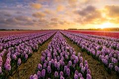 紫色的风信花 免版税库存图片