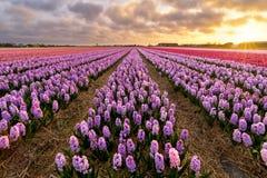 紫色的风信花 库存照片