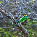 绿色的食蜂鸟一点 库存图片