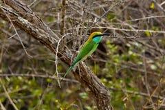 绿色的食蜂鸟一点 库存照片