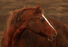 色的马纵向铁锈 库存照片