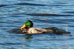 色的鸭子沐浴 库存照片