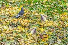 色的鸽子秋天时间室外公园 免版税库存照片