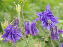 紫色的columbines 免版税库存照片