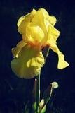 黄色皇家虹膜关闭花在黑暗的背景 库存图片