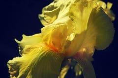 黄色皇家虹膜的瓣在宏指令的在黑暗的背景 免版税库存图片