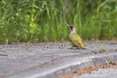 绿色皮库斯viridis啄木鸟 免版税库存图片