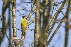 绿色皮库斯viridis啄木鸟 免版税库存照片