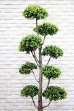 绿色盆景灌木 免版税图库摄影