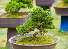 绿色盆景结构树 免版税库存图片