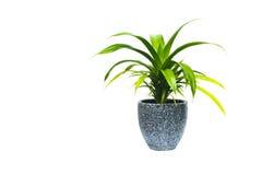 绿色盆的植物,在白色隔绝的罐的树 免版税库存照片