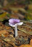 紫色真菌(伞菌) 库存照片
