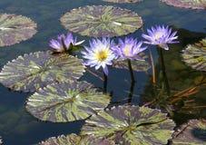 紫色睡莲叶开花戳他们的在maoron和绿色varigated叶子上的头 免版税库存照片