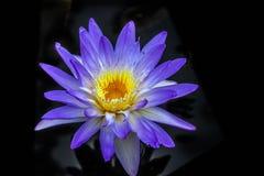 紫色睡莲 库存图片