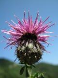 紫色矢车菊(矢车菊scabiosa) 库存图片