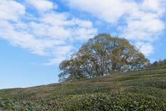 绿色矮小的植物在有蓝天backgrou的日本庭院里 库存图片