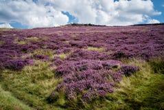 紫色石南花在高峰区 免版税库存照片
