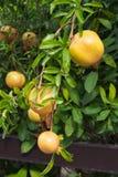 黄色石榴是立即可食的 免版税库存图片