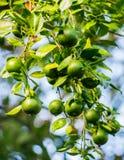 绿色礁莱檬(柑橘aurantiifolia) 免版税图库摄影
