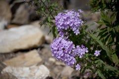 紫色福禄考开花 库存照片