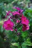 紫色福禄考 库存图片