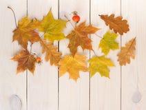 黄色秋叶槭树用红色野玫瑰果 免版税库存照片