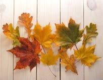 黄色秋叶槭树用红色野玫瑰果 库存照片