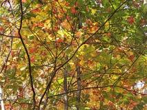 绿色秋叶 免版税库存图片