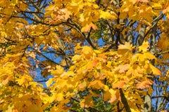 黄色秋天上色了在树的叶子反对蓝色清楚的天空在一晴朗的秋天天 库存图片