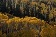 黄色秋天叶子亚斯本树丛  图库摄影