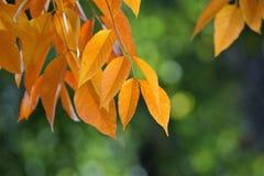 黄色秋天叶子 图库摄影