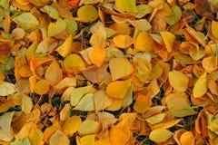 黄色秋天地毯在地面上离开 免版税库存照片