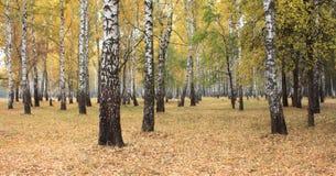 黄色秋天桦树森林 库存照片
