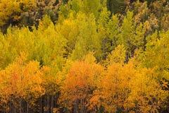 黄色秋天白杨木树育空北方森林taiga 库存照片