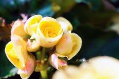 黄色秋海棠开花背景 库存图片