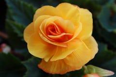黄色秋海棠 库存图片