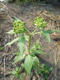 绿色种子植物 库存图片