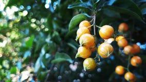 黄色种子 免版税库存图片