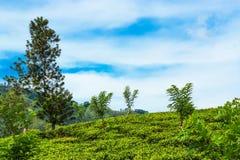 绿色种植园茶 风景 图库摄影