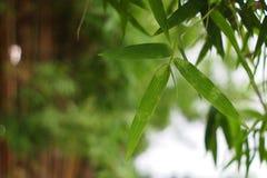 绿色竹子叶子特写镜头背景的 免版税图库摄影