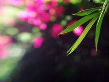 绿色竹子离开bokeh图片 免版税图库摄影
