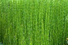 绿色竹子 免版税库存照片