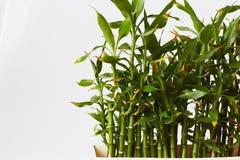 绿色竹子 图库摄影