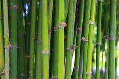 绿色竹子 免版税图库摄影