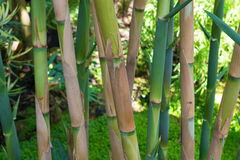 绿色竹树丛 库存照片