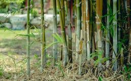 绿色竹树在庭院里 图库摄影