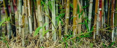 绿色竹树在庭院里 库存图片